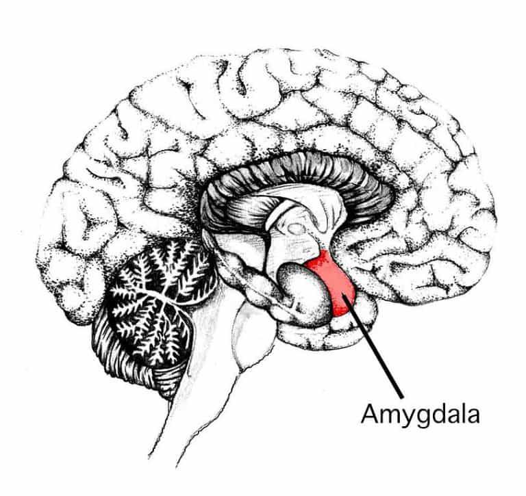 Brain diagram with Amygdala
